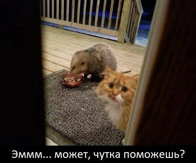 Опоссум и домашний кот