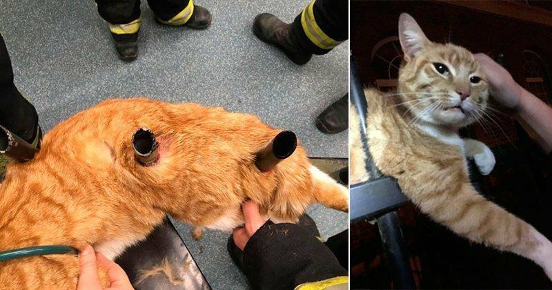 Кот был проколот тремя штырями забора, но чудом выжил