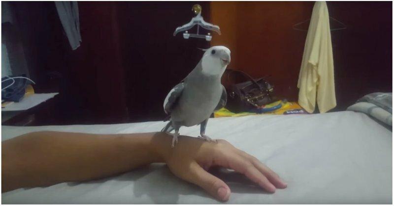 Попугай капитана Джека Воробья