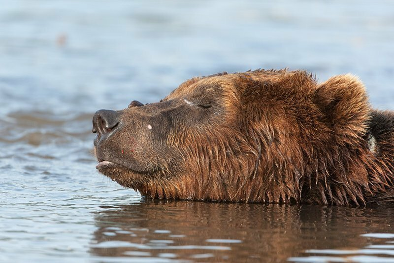 Бурые медведи Камчатки глазами фотографа Сергея Горшкова