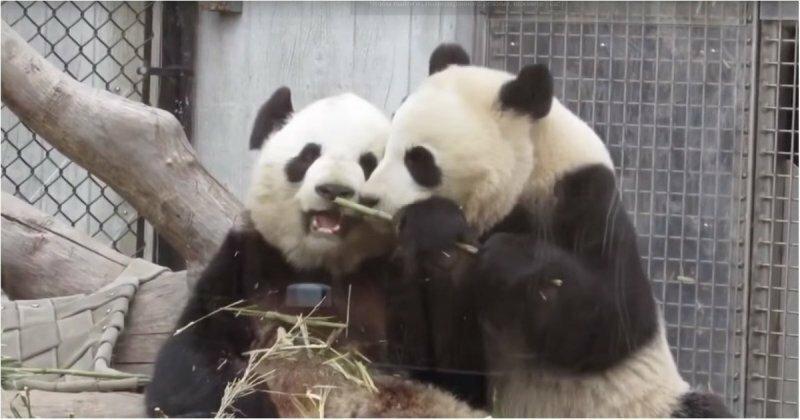 Панда постоянно отбирает у мамы бамбук