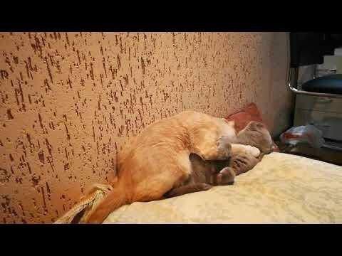 Жили-были два кота - восемь лапок, два хвоста