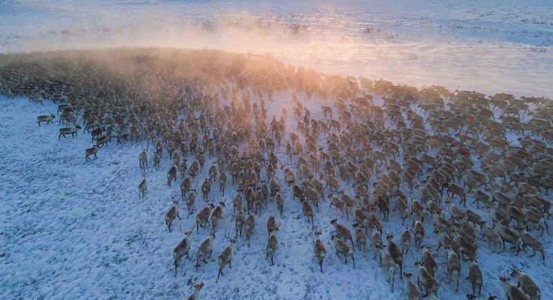 Завораживающие кадры великой миграции северных оленей в Канаде