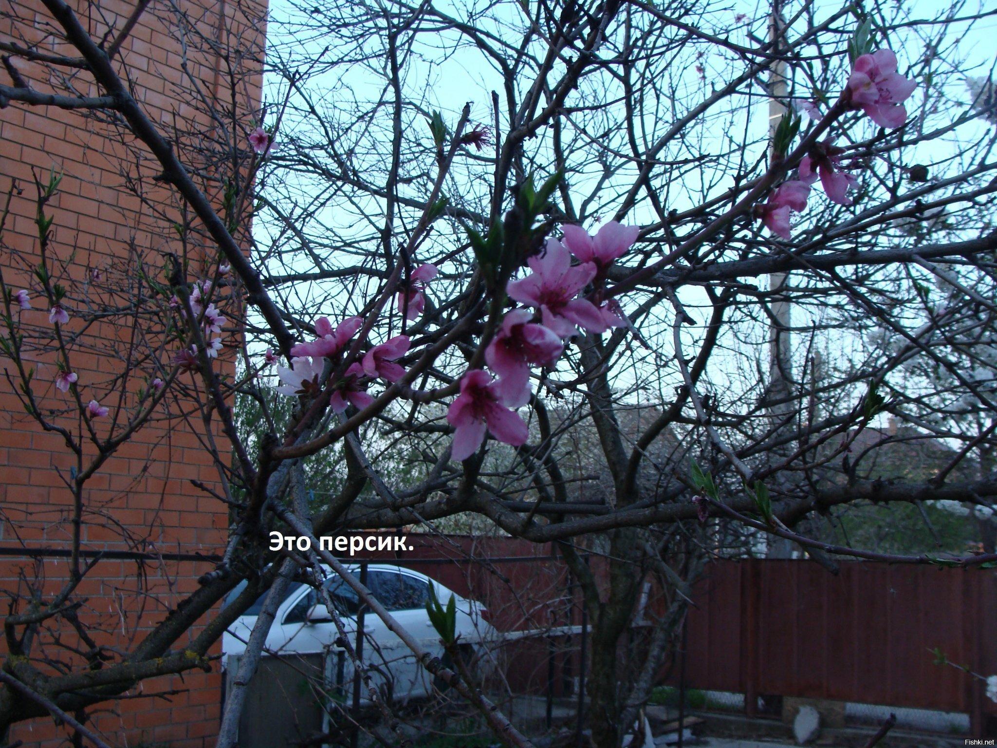 В Краснодаре отцвели абрикосы и зацвели черешни, персики, сливы