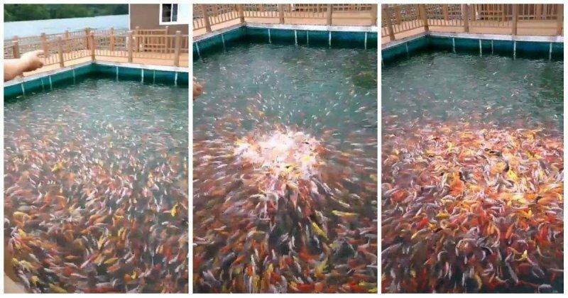 Эффектное кормление рыбок