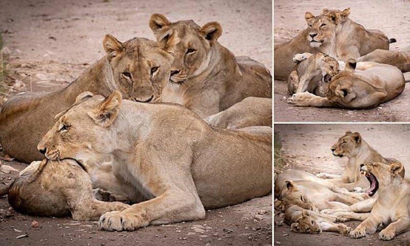 Мама, не съешь меня! Львица затеяла опасную игру со своим детенышем