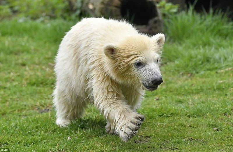Привет, мир: первая прогулка детеныша белого медведя по зоопарку