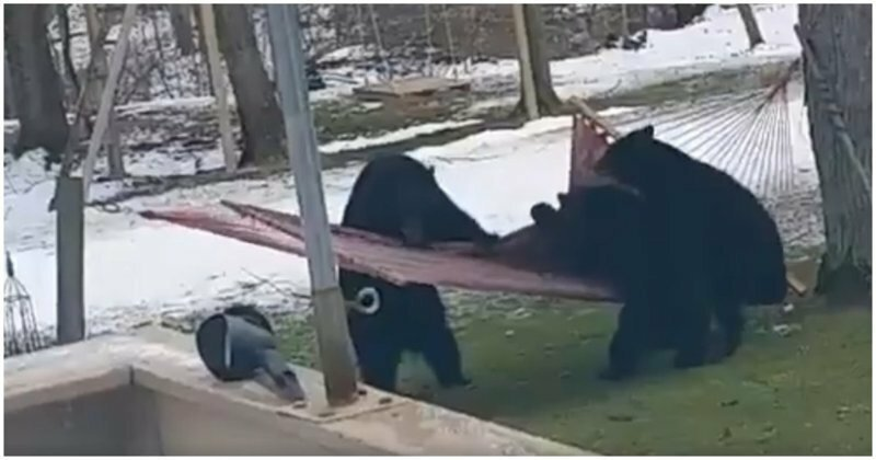 Медвежата решили покачаться в гамаке