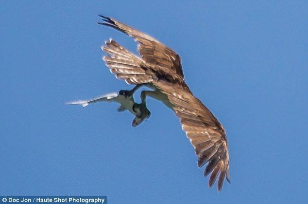 """""""Пищевая цепь в действии"""": фотограф в США сделал уникальный снимок птицы, поймавшей """"жующую"""" акулу"""