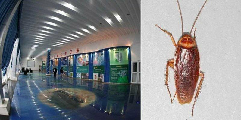 Китай выращивает 6 миллиардов тараканов в год. Зачем?