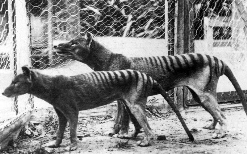 Австралийские ученые планируют клонировать вымершего сумчатого волка