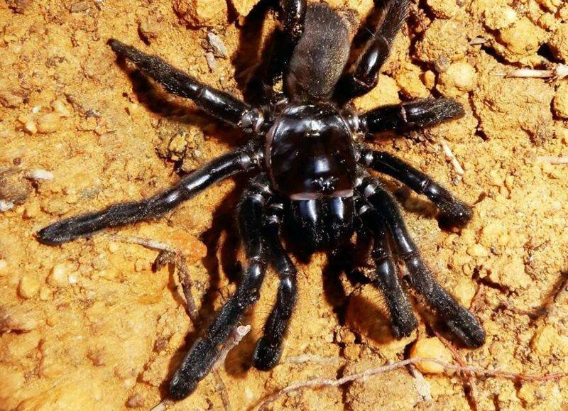 Старейший тарантул в мире отбросил ноги не самым лучшим образом