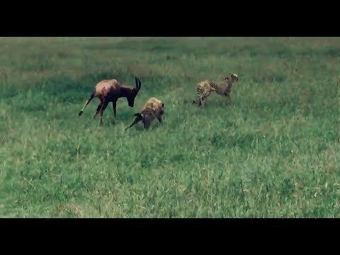 Схватка антилопы с гепардами и гиеной попала на видео