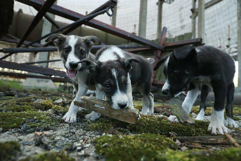 200 щенков из Чернобыля переезжают в США