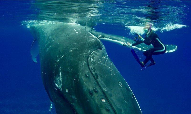 50-тонный горбатый кит защитил дайвера от тигровой акулы, и она записала это на видео
