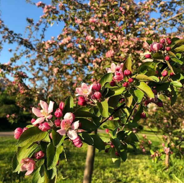 Буйное цветение деревьев в Яблоневом саду