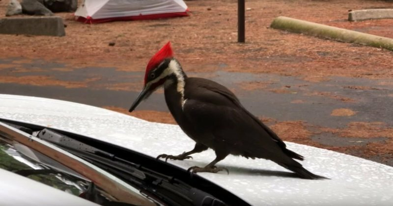 Птицы против электромобилей: дятел напал на Тэслу