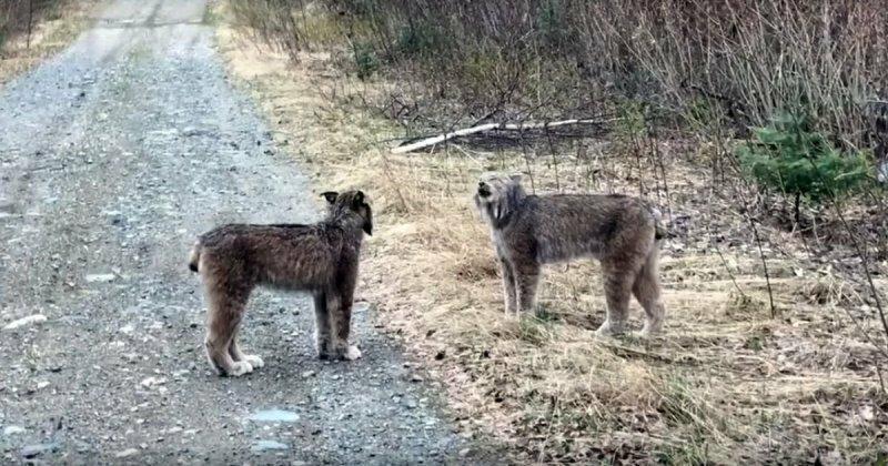 Две диких рыси кричат друг на друга