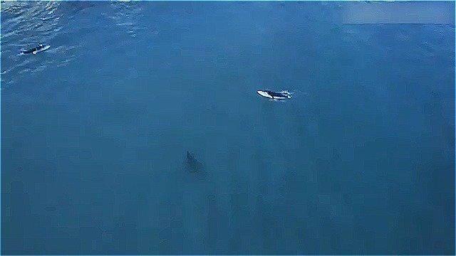 Видео: гигантская акула-людоед рядом с ничего не подозревающими серферами
