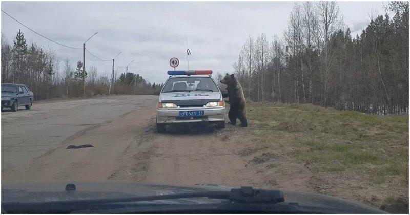 Медведь решил проинспектировать машину ДПС