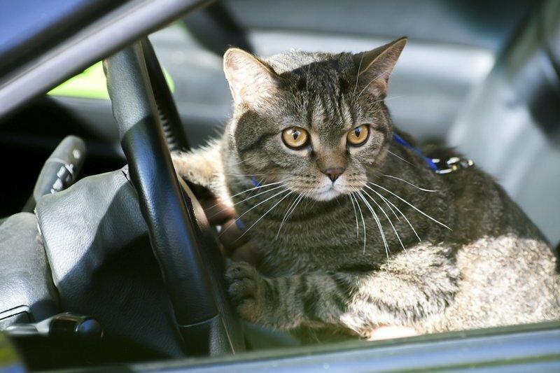 Коты, которые в прошлой жизни были таксистами