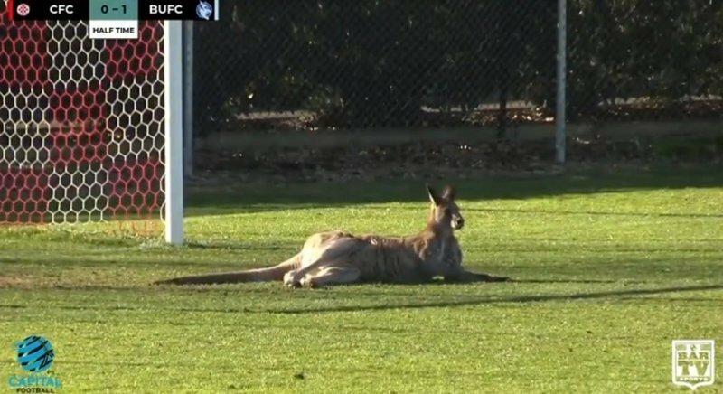 Тем временем в Австралии: кенгуру прервал футбольный матч, выбежав на поле