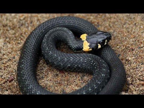 Змеи в пищу. Выживание в тайге