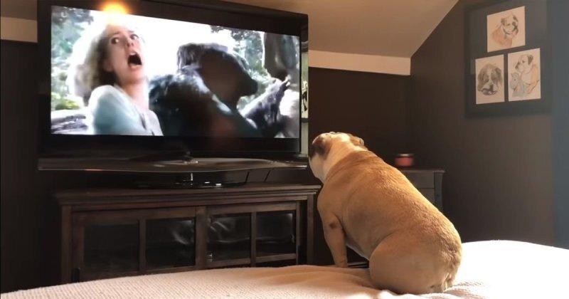 Бульдог смотрит фильм про Кинг-Конга и искренне переживает