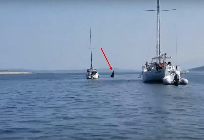 Косатка угнала судно и устроила аварию