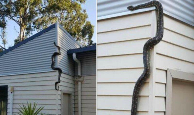 Австралиец случайно приютил огромного питона - пока не понял, что у змея далеко не добрые планы