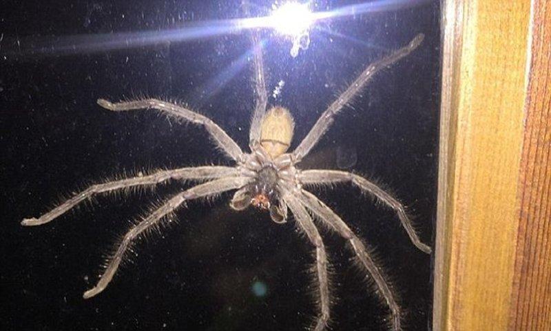 Гигантский паук напугал жителя Сиднея