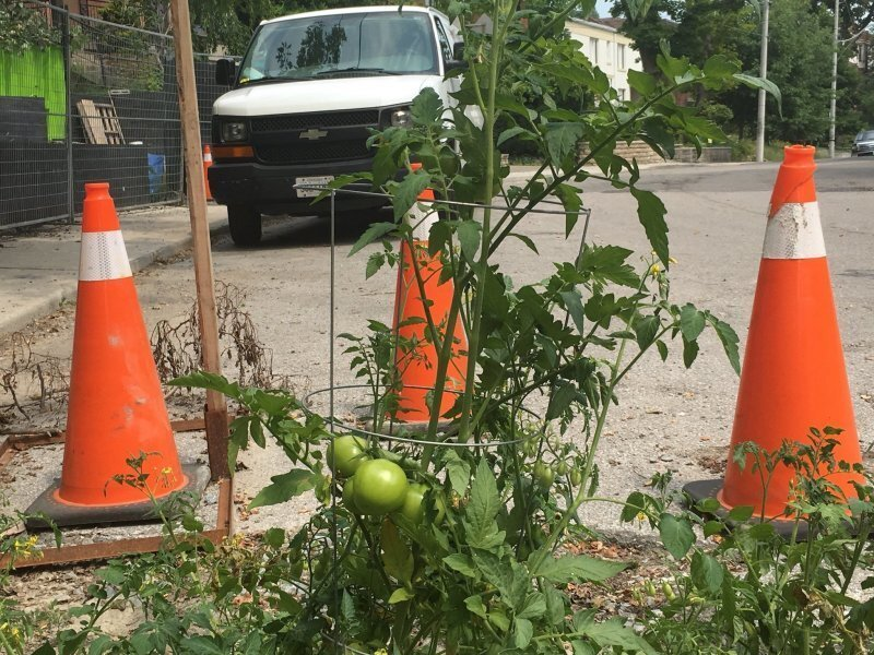 Канадцы вырастили помидоры в яме на дороге, чтобы привлечь внимание властей