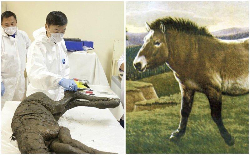 В Сибири раскопали отлично сохранившиеся останки лошади возрастом 40 тысяч лет