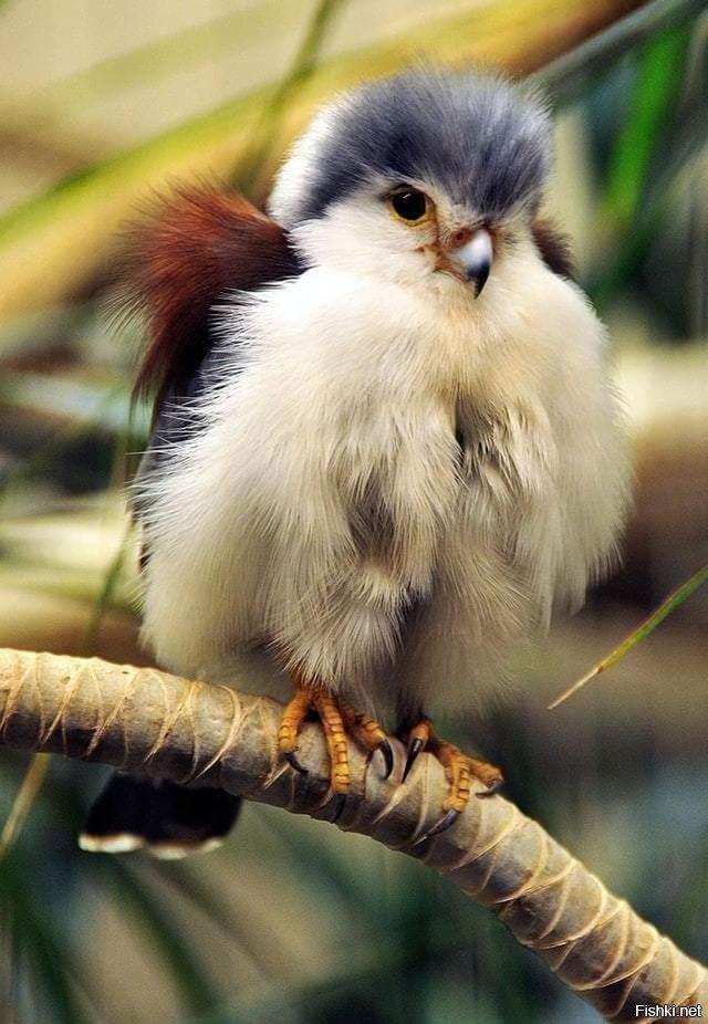 Птенец сокола