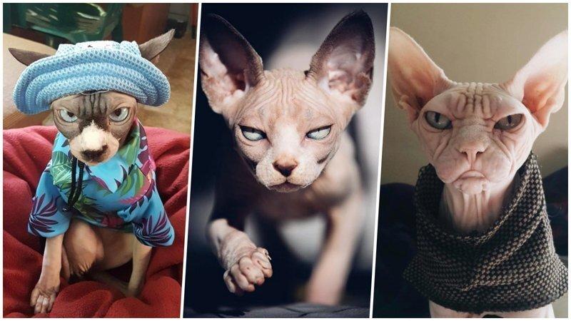 25 фотографий суровых сфинксов, которые похожи на демонических тварей