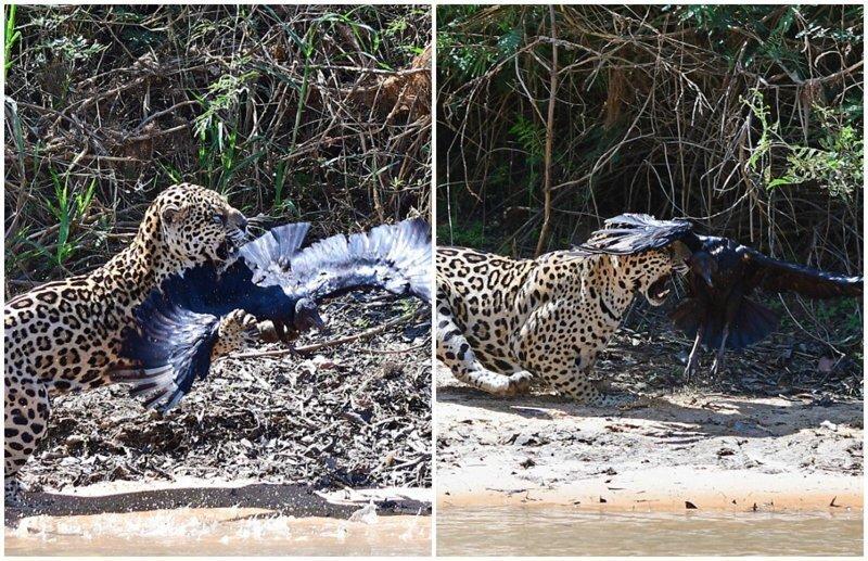Эпичная схватка в воздухе между ягуаром и стервятником