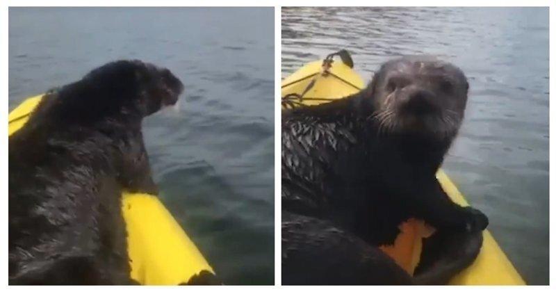 Вези меня, извозчик: наглая морская выдра забралась в лодку