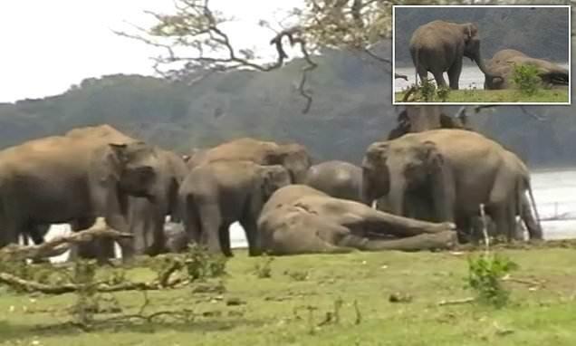 Видео: слоны прощаются с погибшим вожаком