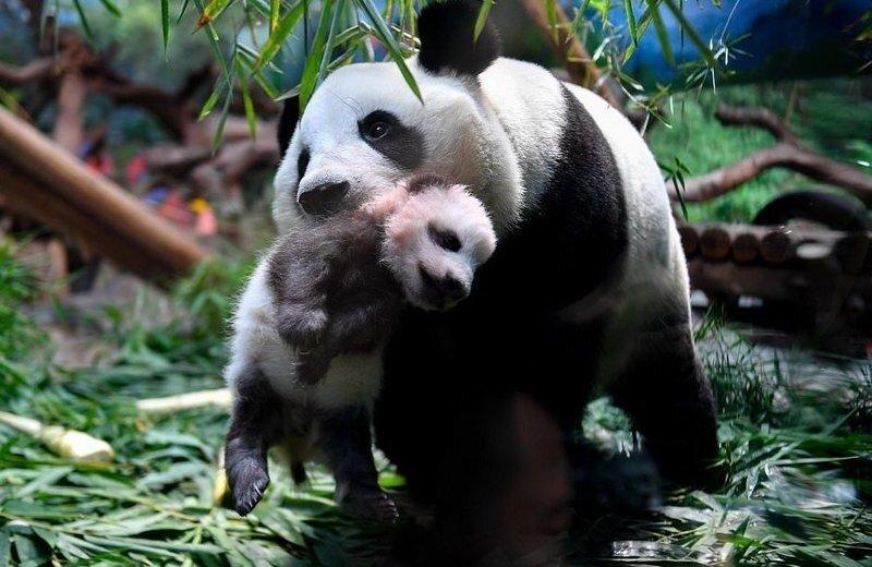 Видео: панда нянчит своего двухмесячного детеныша