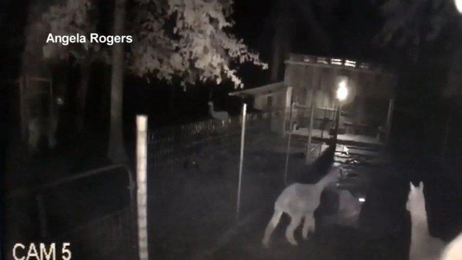 Взрослой альпаке удалось отбить своё дитя у пумы, и вот как это произошло