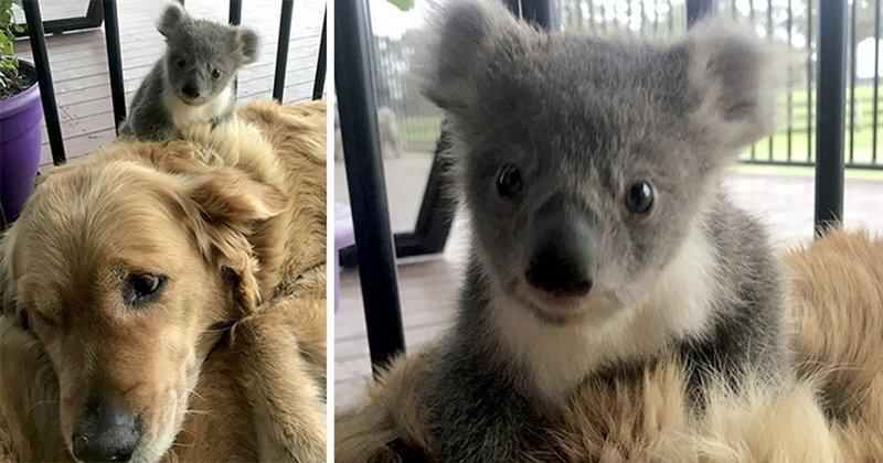 Собака спасла детеныша коалы от замерзания