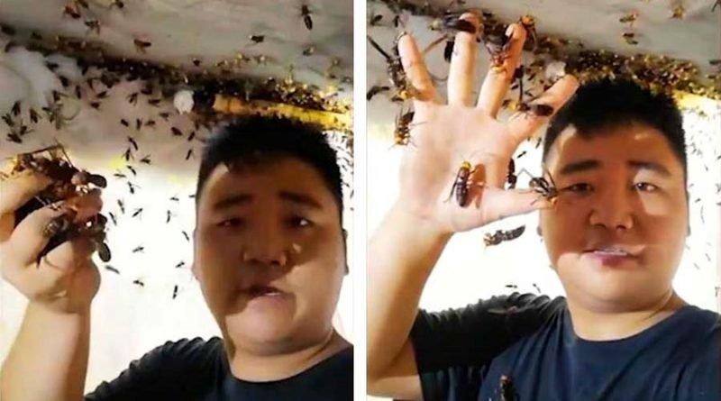 Китаец без особого страха берёт в руку целую жменю азиатских огромных шершней