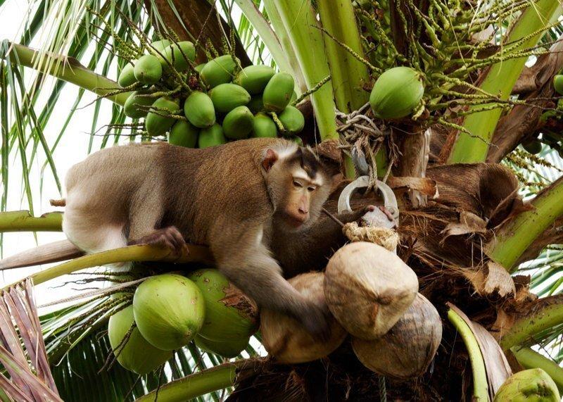 Обезьяна прикончила пожилую женщину кокосом