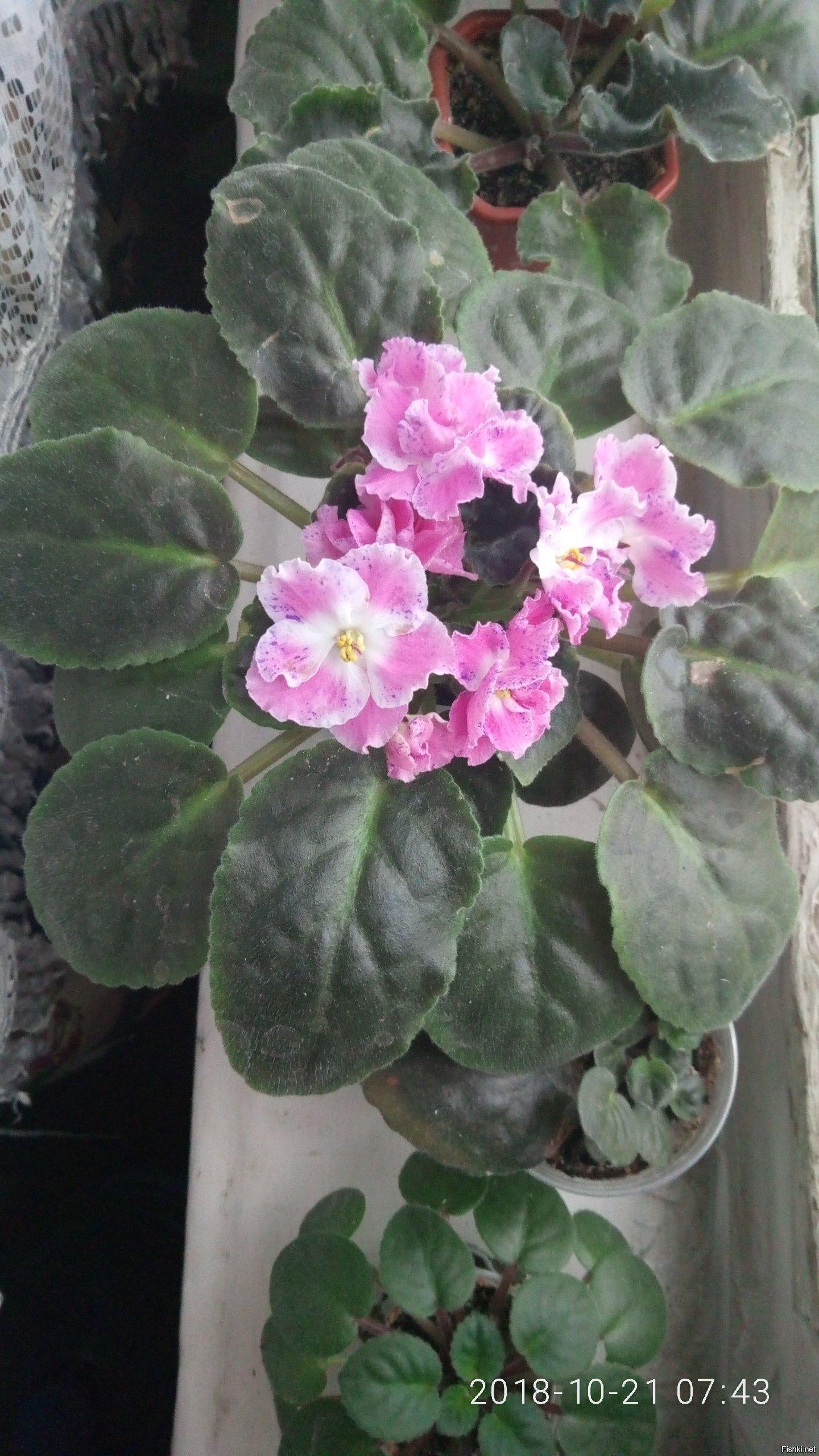 Цветет моя красавица
