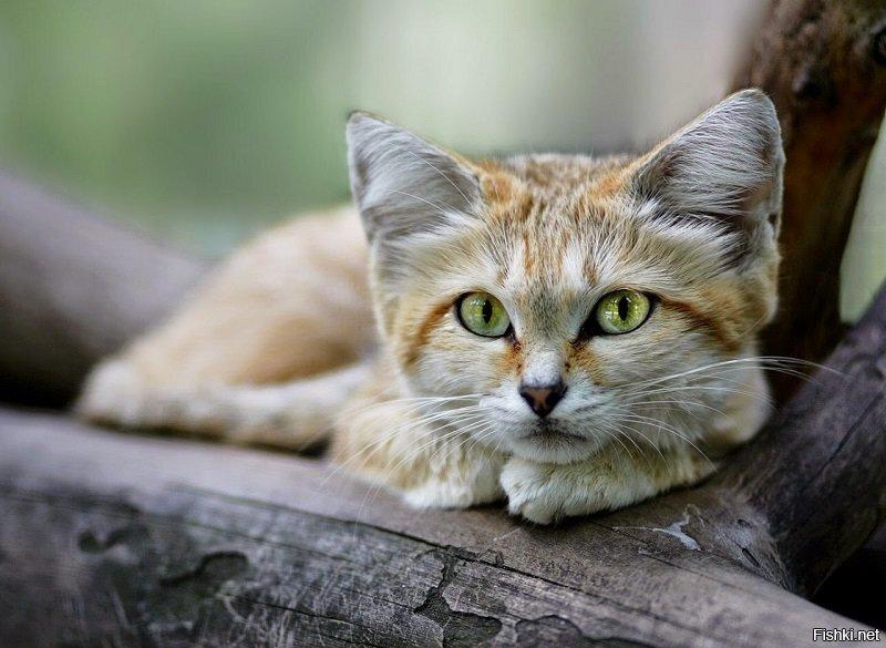 Барханный кот (другие названия – барханная кошка, песчаный кот) –  хищник, пр...