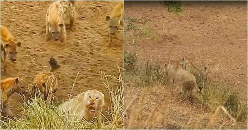 Львицы прогнали голодных гиен, атаковавших их сородича