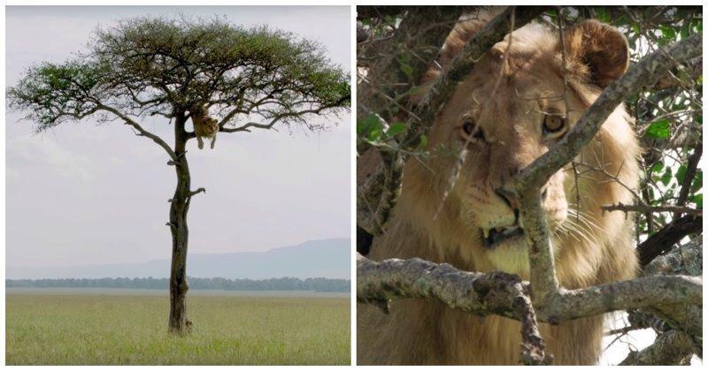 Любопытный лев залез на дерево и долго не мог слезть обратно из-за своей трусости