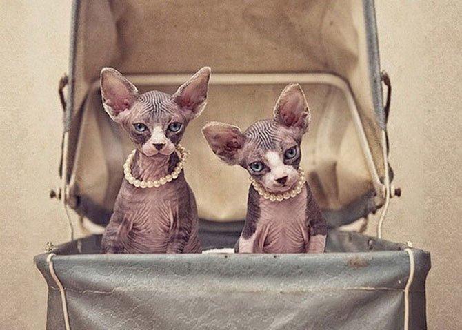 Зверские фото. Чудесные кошки-сфинксы на фотографиях Серены Ходсон