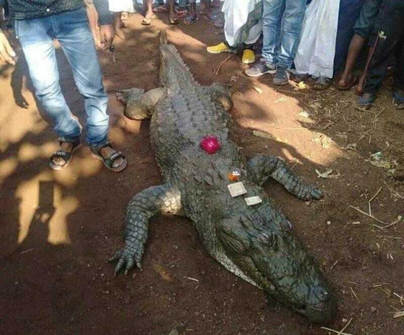 На похороны понимающего крокодила собралось более 500 человек