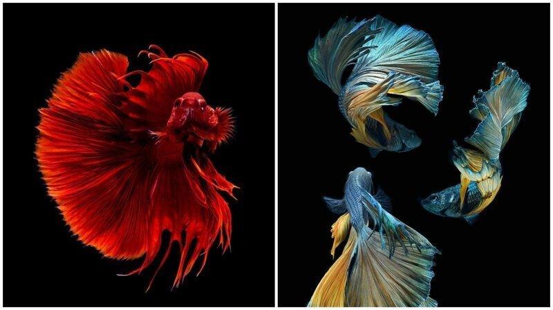 Этот тайский фотограф снимает аквариумных рыбок круче всех